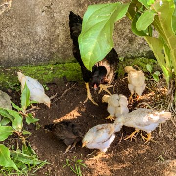 The chicken and her babies are in our garden