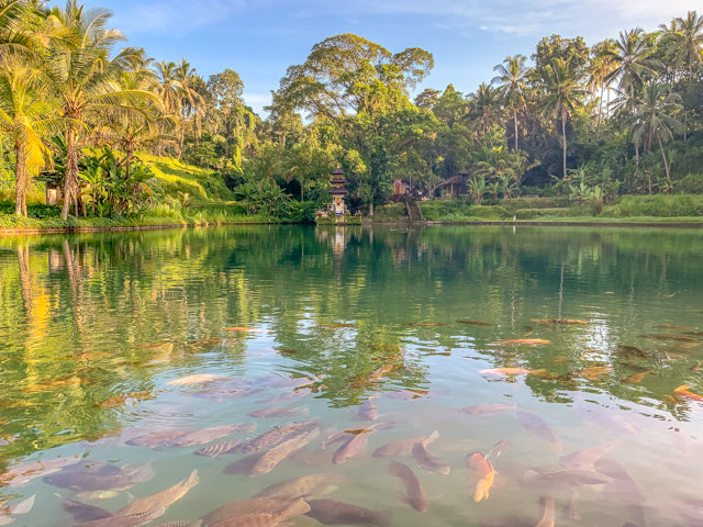 There are tons of fish inside the temple lake