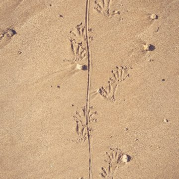 Who left these tracks on the sand?