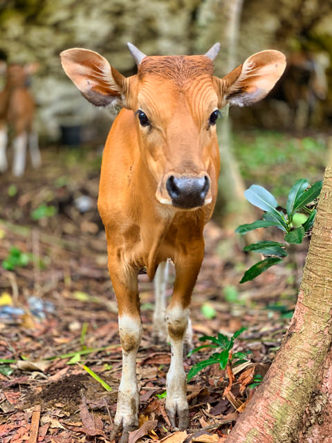 Look at that cute and curious baby cow